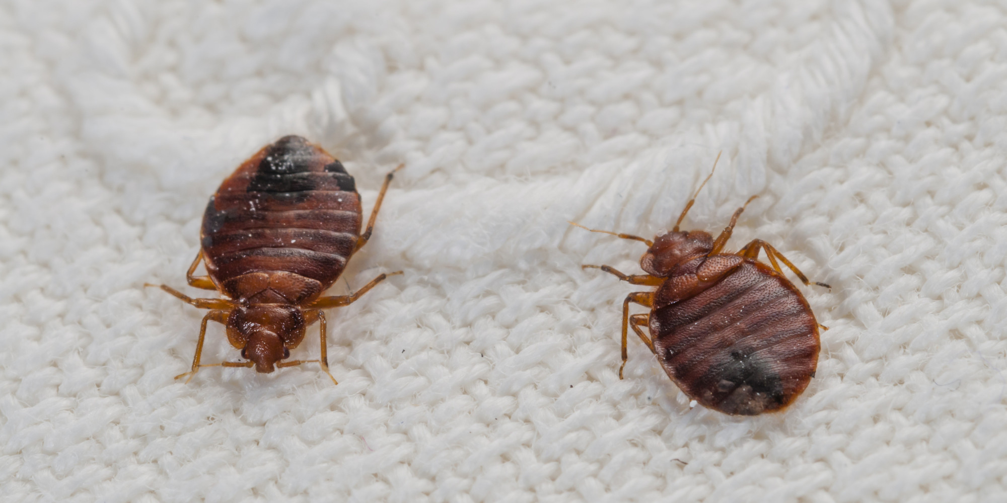 bugs lifecycle pest bed ma control facts exterminators bug