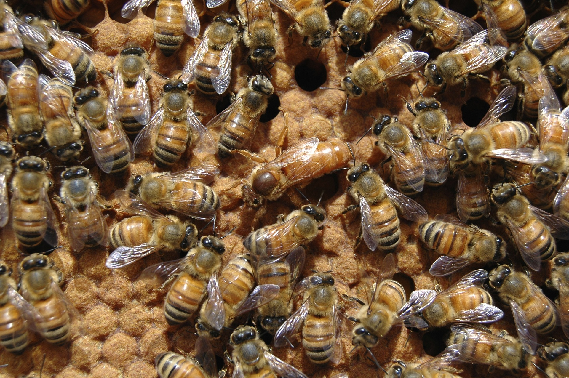 Queen bee surrounded by busy working bees